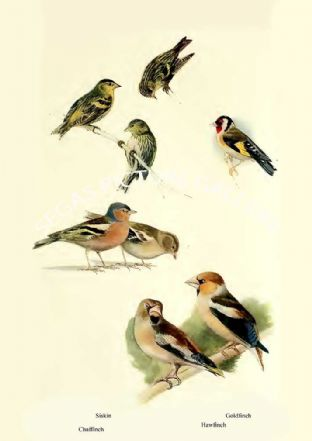 Siskin, Chaffinch, Goldfinch & Hawfinch